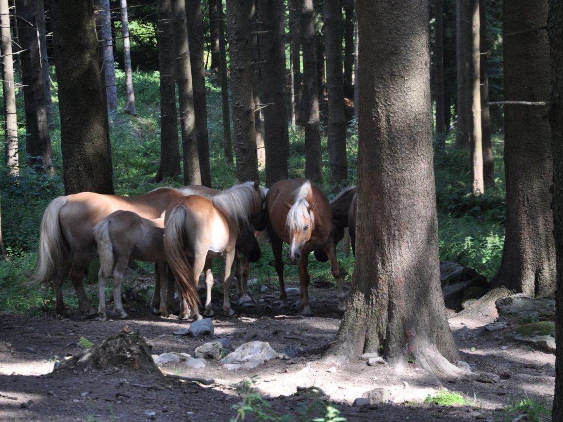 Mucche al pascolo vicino Civenna